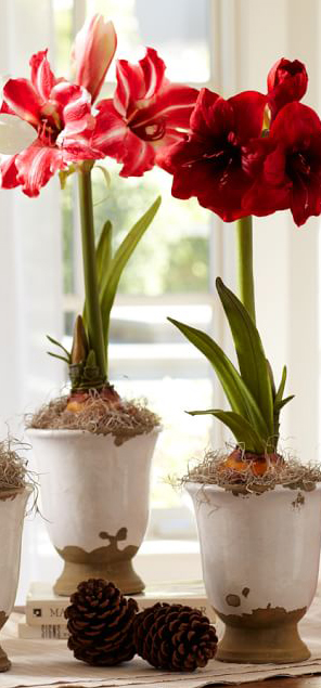 Live Amaryllis Bulb In Tuscan Pot
